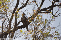 Indische Kuifarend (Robbert met dubbel B) Tags: park india nature wildlife indian safari national april crested 2016 indische changeable nationaal tadoba wildphotography hawkeagle wildfotografie kuifarend