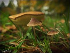 23/52 Seasons (Lyndon (NZ)) Tags: park autumn newzealand macro nature mushroom fuji seasons gimp fungi nz masterton wairarapa xs1 fujifilmxs1 52weeksthe2016edition week232016 weekstartingfridayjune32016