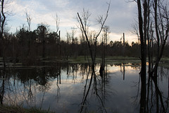 Wetland Reflection (Stuart Borrett) Tags: sunset reflection pine rural forest conservation northcarolina land wetland fiveeagles northcarolinacoastallandtrust
