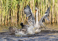 claws 'n' jaws (blackfox wildlife and nature imaging) Tags: heron canon wirral coots rspb 80d birdsfighting burtonmerewetlands sigma150600mmossport