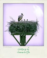 IMGP0175-pola (fredericfromage) Tags: nest familie pola storch nachwuchs strche poladroid