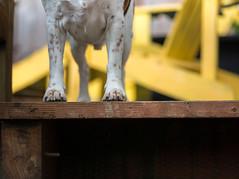 22/52 (cathy sly) Tags: dog pet beagle basil 52weeksfordogs