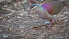 Key West Quail-Dove - Geotrygon chrysia (Aphelocoma_) Tags: bird nature animal march photo spring image wildlife cuba aves photograph matanzas 2015 columbidae canonextenderef14xii columbiformes bermejas quaildove zapatapeninsula keywestquaildove geotrygon canoneos5dmarkiii geotrygonchrysia refugiodefaunabermeja canonef300mmf28lisiiusmlens