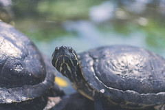 Repeat that again! (Rubn RG) Tags: d3100 nikon 35mm 365 animal emotions turtle tortuga angry bokeh dof daylight
