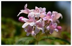 Kolkwitzie (Kolkwitzia amabilis) (Harald52) Tags: park natur pflanze blte garten strauch kolkwitzie