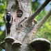 Great spotted woodpecker male feeds young