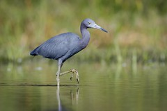 Little Blue Heron (Melis J) Tags: holiday bird unitedstates florida herons littleblueheron
