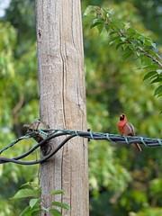 The Cardinal Has a Face (Paul Henegan) Tags: blur bird cardinal utilitylines utlitypole