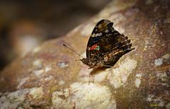 Moth (Dabawenyo Ako) Tags: moth bokeh canon 200mm f2 sony a7r2 a7rii metabones yongnuo 2x tc