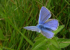 Adonis Blue butterfly open wing (stourton) Tags: blue butterfly down dorset ballard swanage adonis