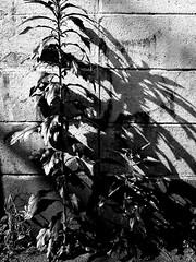 Street Fragments #199 - Shinjuku Labyrinth (Yoshi T. (kagirohi)) Tags: japan japanese tokyo shinjuku goldangai blackwhite bw street streetphotograph streetphotography alley fragment urban city cityscape snapshot night nightview ricoh gr ricohgr                   blackandwhite monochrome depthoffield