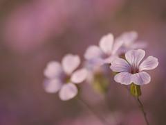 Symphonie en rose **---+ (Titole) Tags: pink flowers delicate titole nicolefaton shallowdof friendlychallenges unanimouswinner thechallengefactory 15challengeswinner