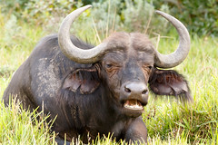 Food time - African Buffalo Syncerus caffer (charissadescande) Tags: africa wild portrait black green nature face look grass animal horizontal southafrica mammal one big dangerous bush buffalo close natural outdoor african wildlife south large horns reserve bull safari national photograph naturereserve wilderness za easterncape portelizabeth africanbuffalo gamereserves