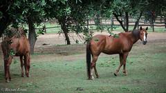 310516- 01.jpg (Rizzuti.Bruno) Tags: cavallo