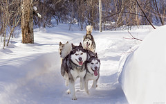 Morning light on chiken run (camel.arnaud) Tags: chien dog hiver winter husky malamute eskimo groenland greenland run course neige quebec canada traineau sled leica