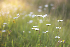 Oxeye Daisies in the Setting Sun (debbie_dicarlo) Tags: flowers nature daisies nationalpark flora daisy settingsun fieldofflowers oxeyedaisies cvcp