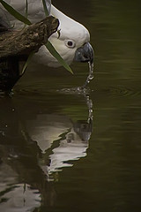 Sulphur Crested Cockatoo (Rene52) Tags: cockatoo sulphurcrestedcockatoo bird birdlife australianbirdlife