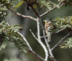 Golden-breasted Bunting (Emberiza flaviventris) (amitbandekar) Tags: zambia africa jellisfarmlazyj emberiza flaviventris bunting