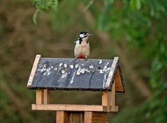 Great Spotted Woodpecker at the Bird Hide in Langholm (penlea1954) Tags: bird scotland woodpecker great hide spotted dumfries galloway langholm
