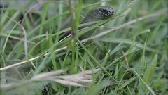 Slow worm (Anguis fragilis) moving through grass (Ian Redding) Tags: uk brown sun eye grass sunshine tongue fauna moving spring european close head reptile wildlife lizard british sliding slithering slowworm legless sensing anguisfragilis anguidae tongueflicking undergowth