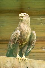 Pygargue  queue blanche (Sbastien Locatelli) Tags: bird birds canon eos is  eagle queue l prey usm blanche oiseau ef f4 oiseaux whitetailed 70200mm aigle haliaeetus 2016 rapace pygargue albicilla 80d sbastienlocatelli