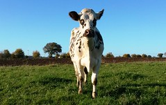 VDP2 (valdepail) Tags: agriculture ferme pail vaches mayenne normande villepail