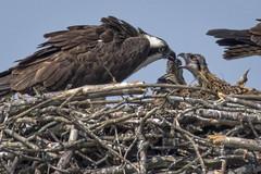 06/12/16 (turtlehawk) Tags: nature birds fun outdoors wildlife bethanybeach famil bluecoast ospre