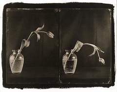 tulip (Giorgio Bordin) Tags: wet print plate negative tulip palladium decaying method collodion na2 altprocesses