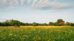 2016 Eades - Yellow Surge (Birm) Tags: worcestershirewildlifetrust summer evening eadesmeadow june meadow field flower grass wild tree outdoor landscape sony yellow light cloud sky plants blue