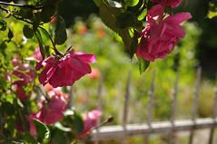 ein Sptes HFF (nirak68) Tags: fence deutschland blossom sommer rosen zaun blte heimat ger eutin rosenstadt 163366 stolbergstrase schleswigholsteinkreisostholstein 2016ckarinslinsede schleswigholsteinkreisosthols