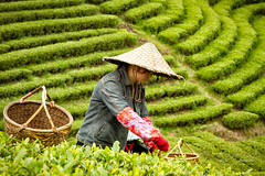 Tea picking at Shui Men Cha Gang (FineArt2C) Tags: china lines tea teaplantation trishedwardsphotographerdigitalartist