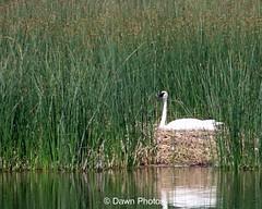 Tundra Swan nesting 0057 (donaldwoodmancy) Tags: birds utah swan bearlake tundraswan