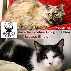 CHLOE and KOUSCHKA (Hospice Hearts) Tags: rescue cats cat illinois feline chloe il foster animalrescue urbana felines champaign volunteer adopt nonprofit hospicehearts kouschka wwwhospiceheartsorg