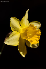 Narcissus Trumpet Yellow 01 (Mugzemet) Tags: amaryllidaceae flower narcissus narcissustrumpetyellow yellow