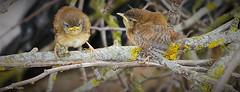 Troglodyte mignon (fred'eau) Tags: jardin panasonic bec troglodyte oiseaux mignon plume gh1