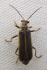 Soldier beetle: Podabrus sp. (Anita363) Tags: june fauna yard insect newjersey nj highlandpark unidentified coleoptera mercuryvaporlamp cantharidae elateroidea polyphaga podabrus cantharinae