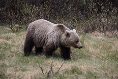 Grizzly Bear (ashockenberry) Tags: