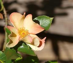 Rebirth (Kazooze) Tags: rose flutterbye peachy garden plant nature macro shadows thorns foliage outdoor sigma105mmmacrolens bokeh flower delicate