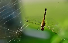 Is this karma? (NgoPhotographyPlz) Tags: spider dragonfly buddhist web philosophy karma caught