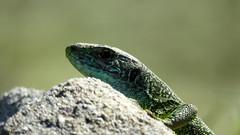 Chasseur d'insecte a l'affut (bernard.bonifassi) Tags: bb088 06 alpesmaritimes 2016 thiery counteadenissa lezard lezardvert reptile