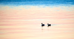 Mallard Silhouettes (imageClear) Tags: pink lake color nature beauty silhouette yellow wisconsin swim aperture nikon flickr quiet pair ducks peaceful lakemichigan pastels serene lovely sheboygan photostream mallards glide 80400mm d600 imageclear