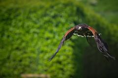 Ebby, Harris Hawk. (Garian Photography) Tags: scotland highlands hawk sony raptor sutherland a7 birdofprey falconry bif topaz lightroom birdinflight carlzeiss harrishawk golspie dunrobincastle mflenses carlzeiss180mmf28sonnar