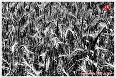 Variations sur les bls 05 (voyageursdumonde1) Tags: nature fleurs bl crales salaisesursanne france2016