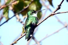 BEIJA FLOR DE PAPO BRANCO (Leucochloris albicollis) (jbmcamisetas) Tags: bird nature hummingbird wildlife natureza passarinho beijaflor colibri planetearth littlebird cuitelo beijaflordepapobranco leucochlorisalbicollis