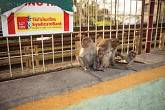 Monkeys (powelliptic) Tags: 35mm asph chamundi fle india mp mysore mysuru summilux monkey