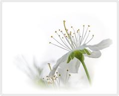 Memories of spring (nickneykov) Tags: flowers white macro nikon blossom bulgaria d750 tamron 90mm nikond750