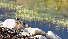 20160706-IMG_6956 Sora (grammiev) Tags: bird small sora shorttail secretive porzanacarolina stronglegs freshwatermarshes groundforager shortyellowbill mostcommonandrailinnorthamerica whinnycall