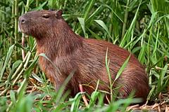Big Rat (Spectacle Photography) Tags: brazil brasil nikon wildlife d750 wilderness matogrosso pantanal capybara wetland hydrochoerushydrochaeris wildlifewatching riosoloureno parquenacionaldopantanalmatogrossense