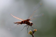 Carolina Saddlebags in Flight (Zoom Lens) Tags: autumn summer macro nature beautiful beauty closeup insect fly wings nikon dragonflies dragonfly flight wing fast happiness insects micro strength activity predator winged flier courage odonata anisoptera purewater swiftness eyepoker epiprocta carolinasaddlebags earcutter eyesnatcher johnrussellakazoomlens multiwinged highlymaneuverable devilsdarningneedle copyrightbyjohnrussellallrightsreserved