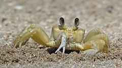 Cangrejo Fantasma Trabajando (Gustavo Fernando Durn) Tags: brazil praia beach brasil america amrica ghost gimp crab playa da santacatarina fantasma sepultura bombinhas cangrejo quadrata ocypode ocypodequadrata platinumheartaward panasoniclumixdmcfz150